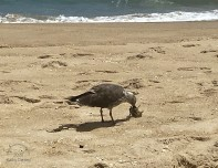 8 13 2020 seagull with fish head